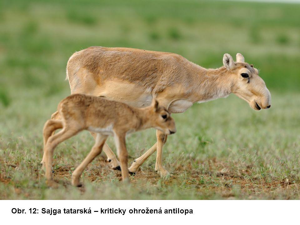 Obr. 12: Sajga tatarská – kriticky ohrožená antilopa