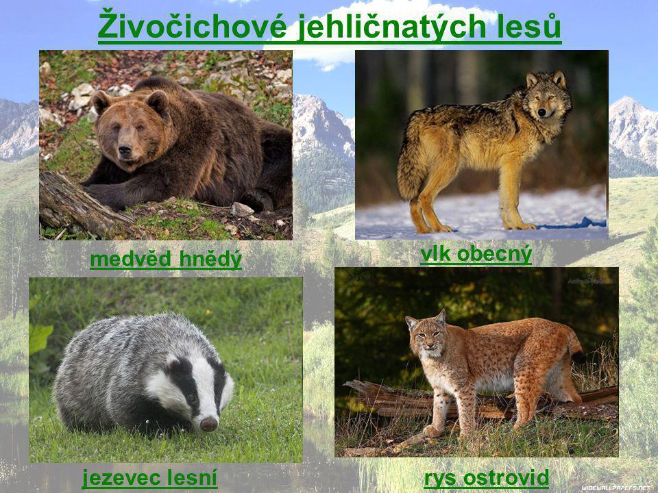 Živočichové jehličnatých lesů medvěd hnědý vlk obecný jezevec lesnírys ostrovid