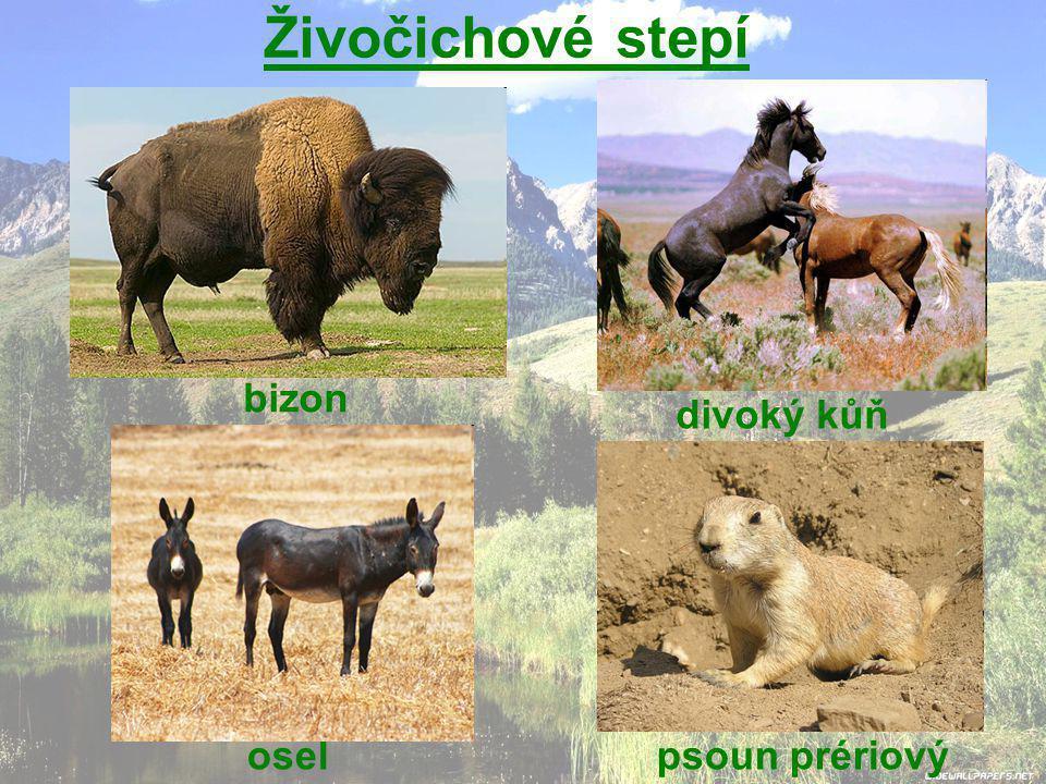 Živočichové stepí bizon divoký kůň psoun prériovýosel