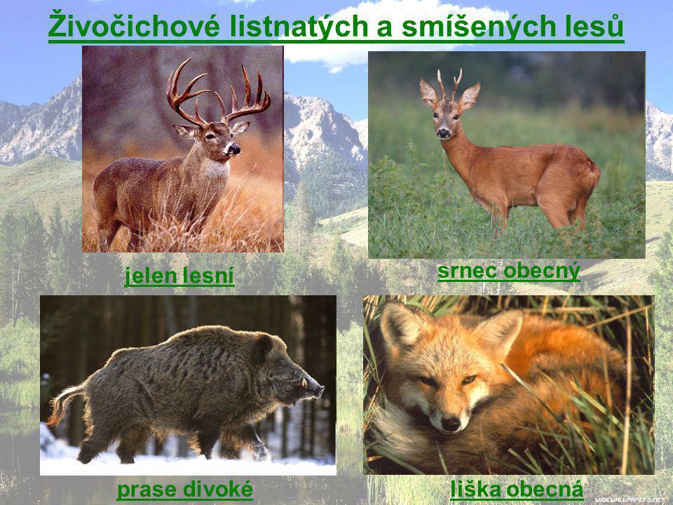 jelen lesní srnec obecný liška obecnáprase divoké Živočichové listnatých a smíšených lesů