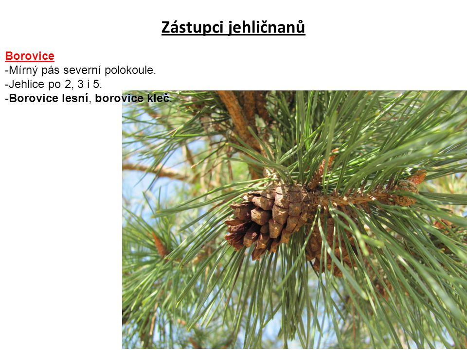 Zástupci jehličnanů Borovice -Mírný pás severní polokoule.