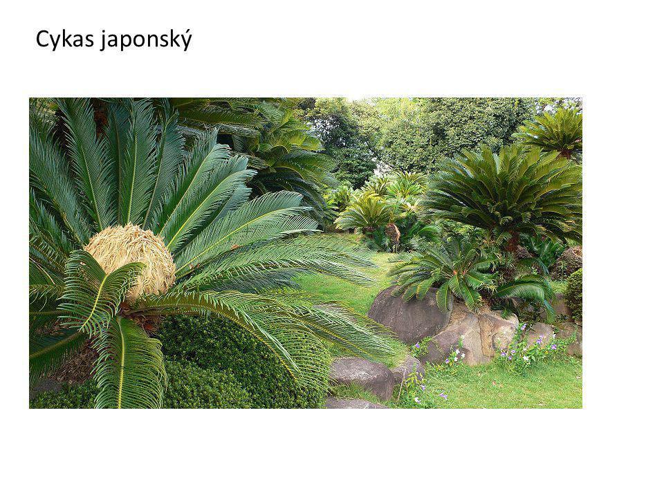 Cykas japonský