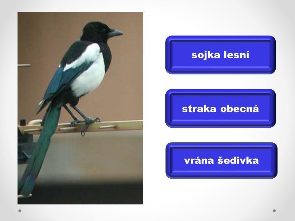 sojka lesní straka obecná vrána šedivka