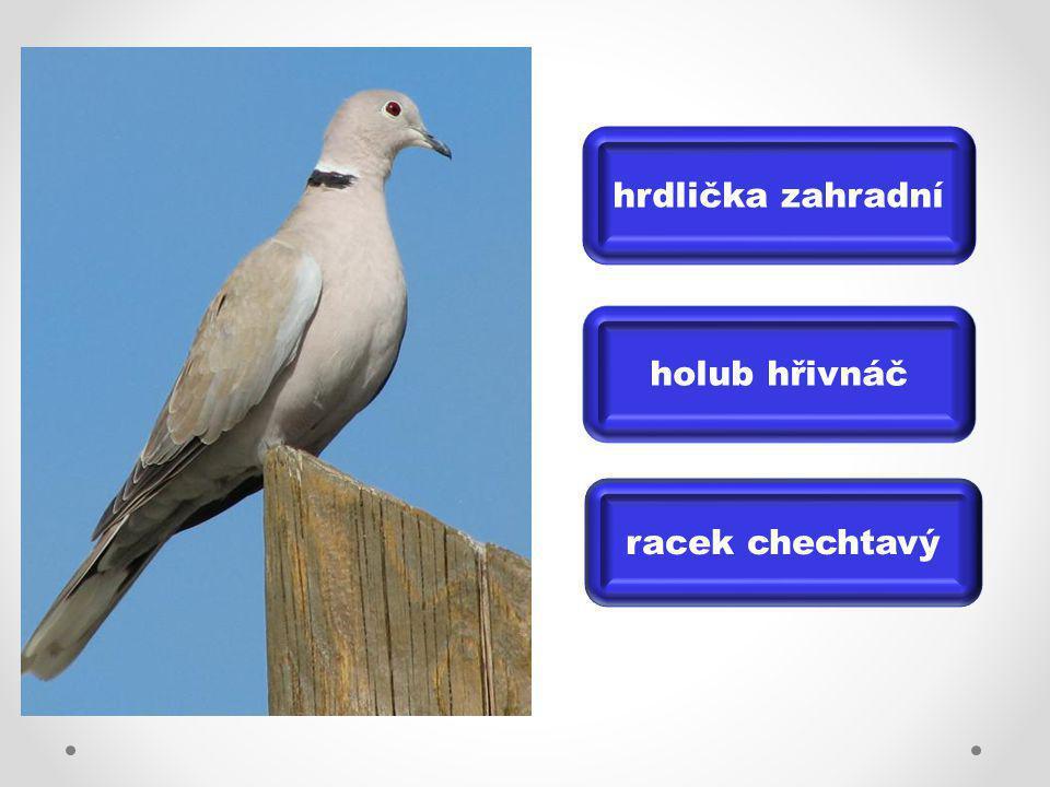 holub hřivnáč racek chechtavý hrdlička zahradní