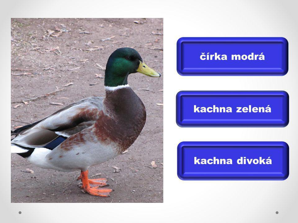 čírka modrá kachna divoká kachna zelená