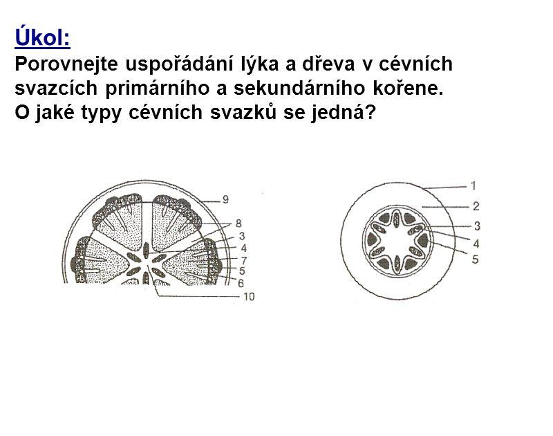 Úkol: Porovnejte uspořádání lýka a dřeva v cévních svazcích primárního a sekundárního kořene. O jaké typy cévních svazků se jedná?