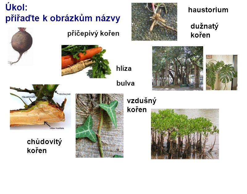 Úkol: přiřaďte k obrázkům názvy vzdušný kořen příčepivý kořen bulva hlíza haustorium chůdovitý kořen dužnatý kořen