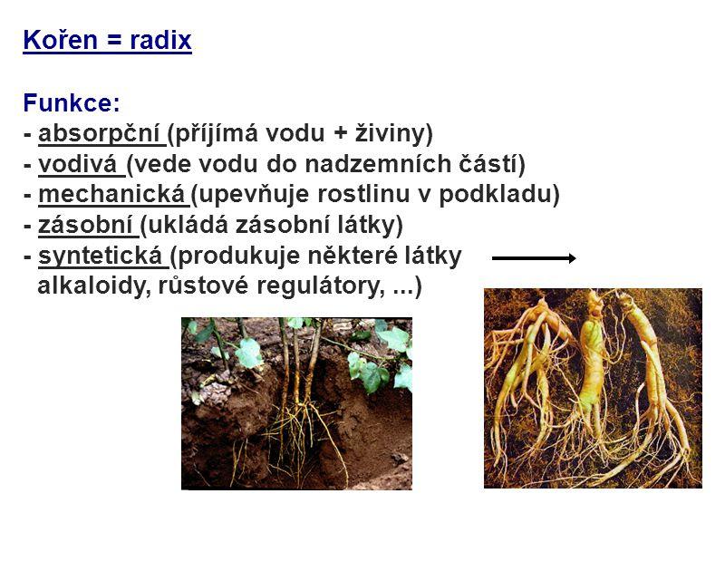 Kořen = radix Funkce: - absorpční (příjímá vodu + živiny) - vodivá (vede vodu do nadzemních částí) - mechanická (upevňuje rostlinu v podkladu) - zásob