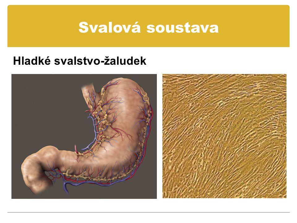 Svalová soustava Hladké svalstvo-žaludek