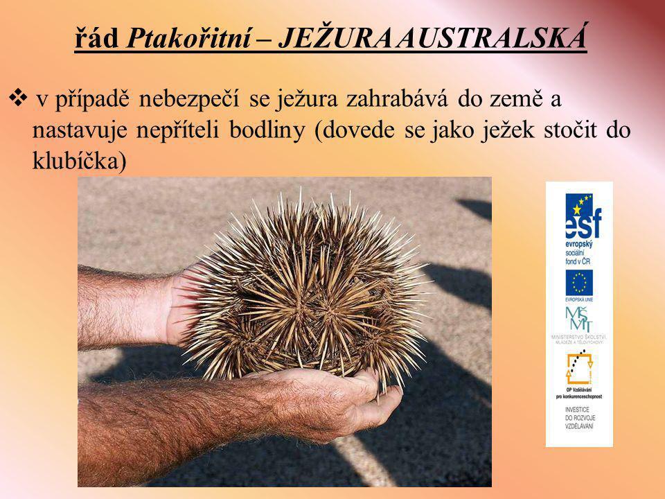 řád Ptakořitní – JEŽURA AUSTRALSKÁ  v případě nebezpečí se ježura zahrabává do země a nastavuje nepříteli bodliny (dovede se jako ježek stočit do klubíčka)
