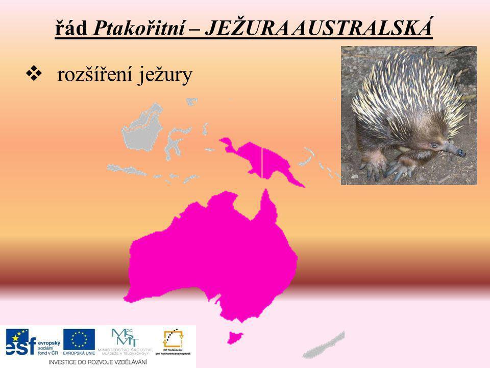 řád Ptakořitní – JEŽURA AUSTRALSKÁ  rozšíření ježury