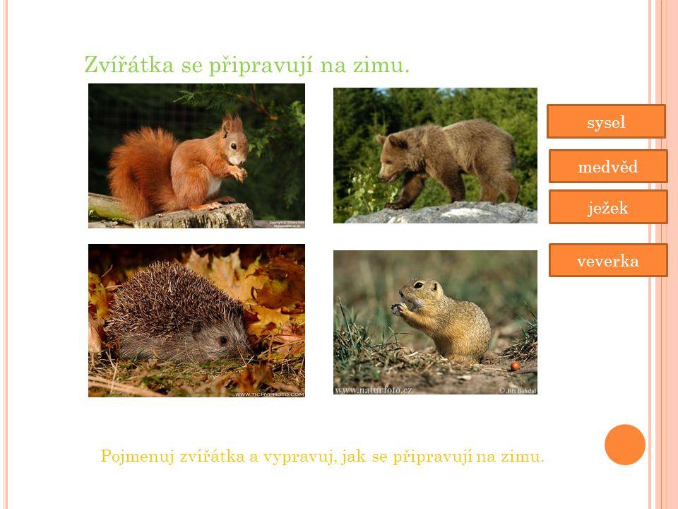 Zvířátka se připravují na zimu. sysel medvěd ježek veverka Pojmenuj zvířátka a vypravuj, jak se připravují na zimu.