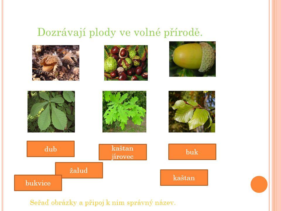 Dozrávají plody ve volné přírodě. žalud dub kaštan kaštan jírovec bukvice buk Seřaď obrázky a připoj k nim správný název.