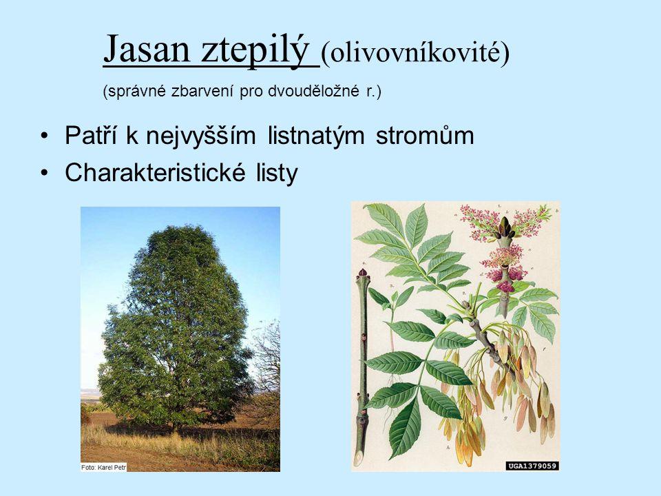 Patří k nejvyšším listnatým stromům Charakteristické listy Jasan ztepilý (olivovníkovité) (správné zbarvení pro dvouděložné r.)