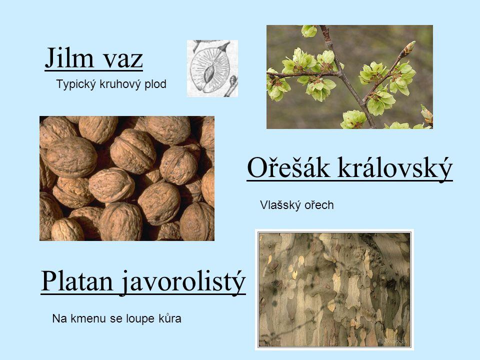 Jilm vaz Typický kruhový plod Ořešák královský Platan javorolistý Vlašský ořech Na kmenu se loupe kůra