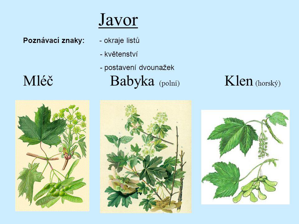 Javor Mléč Babyka (polní) Klen (horský) Poznávací znaky: - okraje listů - květenství - postavení dvounažek