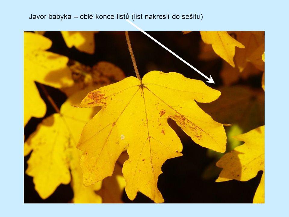 Javor babyka – oblé konce listů (list nakresli do sešitu)