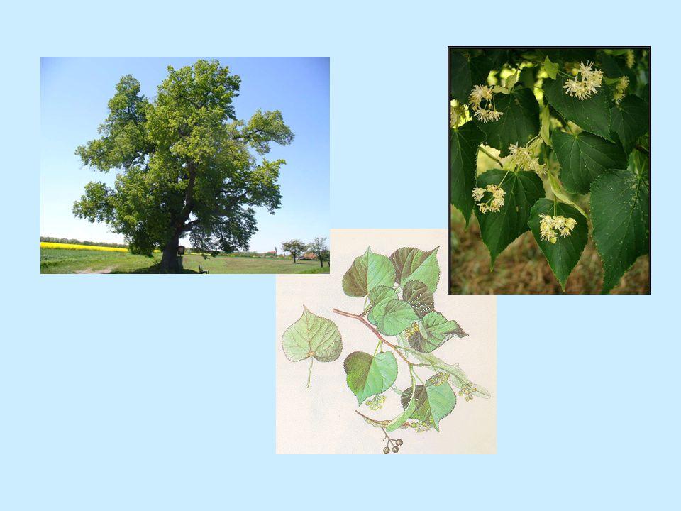 Jírovec maďal (jírovcovité) (správné zbarvení pro dvouděložné r.) Kaštan koňský – lidově kaštan Parkový strom Květy v latách Plod je tobolka – semeno kaštan