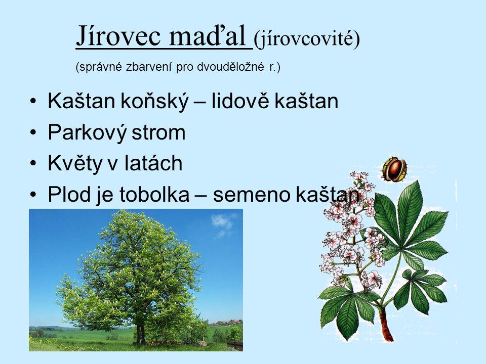 Jírovec maďal (jírovcovité) (správné zbarvení pro dvouděložné r.) Kaštan koňský – lidově kaštan Parkový strom Květy v latách Plod je tobolka – semeno