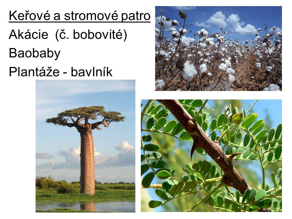 Keřové a stromové patro Akácie (č. bobovité) Baobaby Plantáže - bavlník