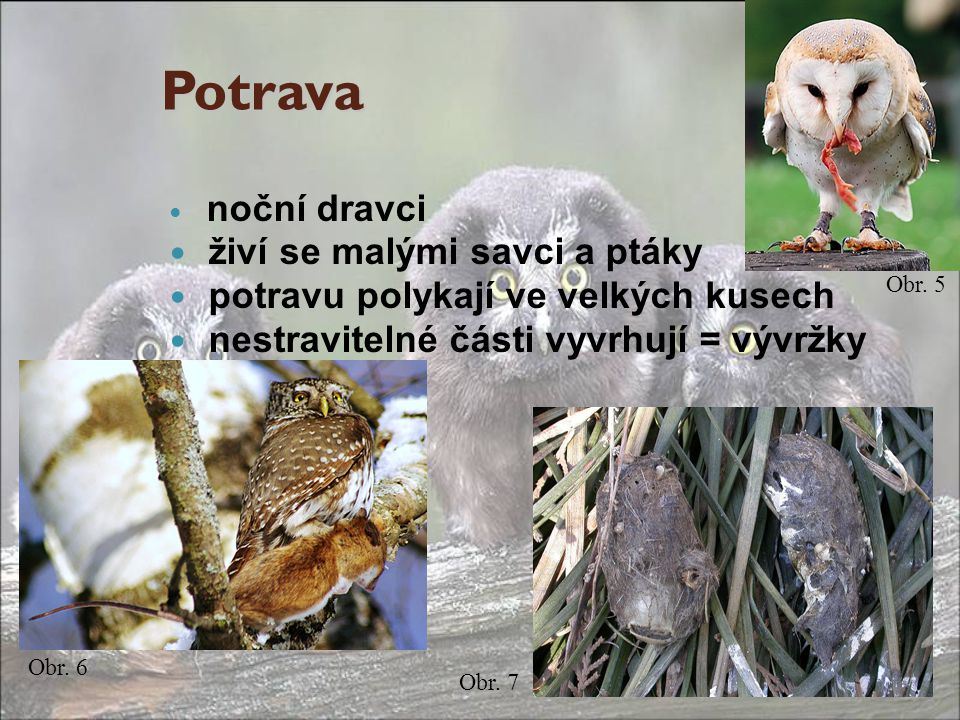Potrava noční dravci živí se malými savci a ptáky potravu polykají ve velkých kusech nestravitelné části vyvrhují = vývržky Obr. 6 Obr. 5 Obr. 7