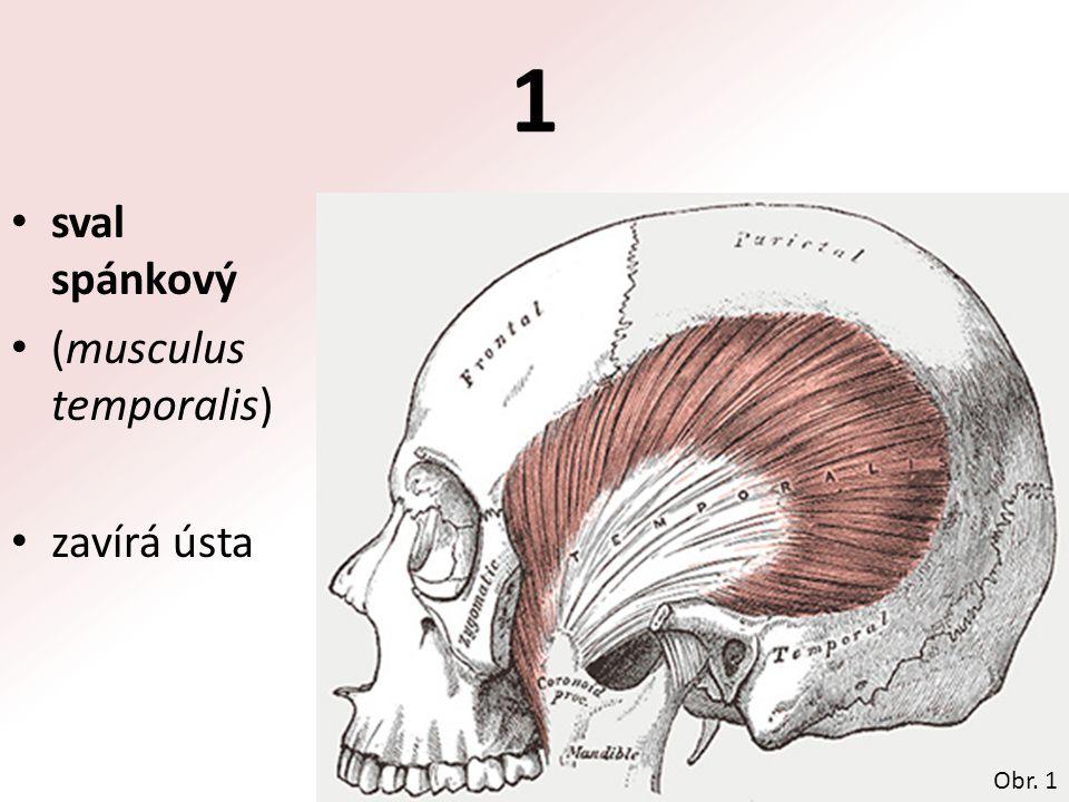1 sval spánkový (musculus temporalis) zavírá ústa Obr. 1