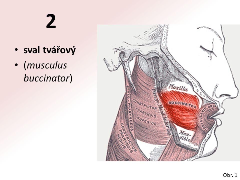 sval tvářový (musculus buccinator) Obr. 1 2