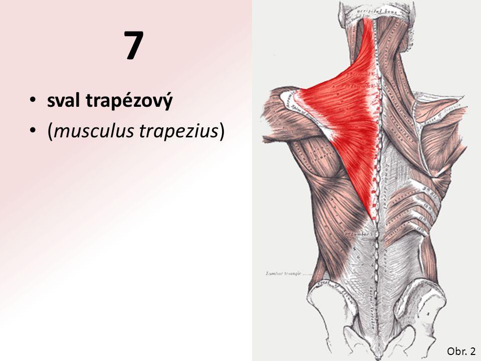 sval trapézový (musculus trapezius) Obr. 2 7
