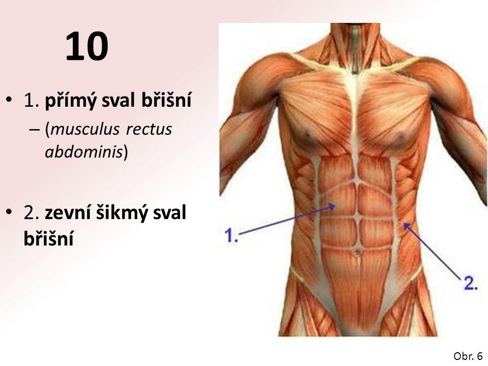 10 1. přímý sval břišní – (musculus rectus abdominis) 2. zevní šikmý sval břišní Obr. 6