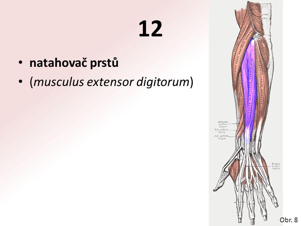 12 natahovač prstů (musculus extensor digitorum) Obr. 8