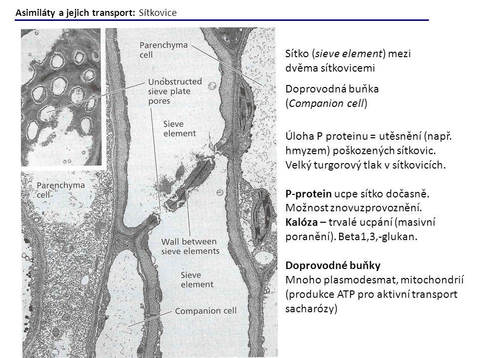Sítko (sieve element) mezi dvěma sítkovicemi Doprovodná buňka (Companion cell) Úloha P proteinu = utěsnění (např. hmyzem) poškozených sítkovic. Velký