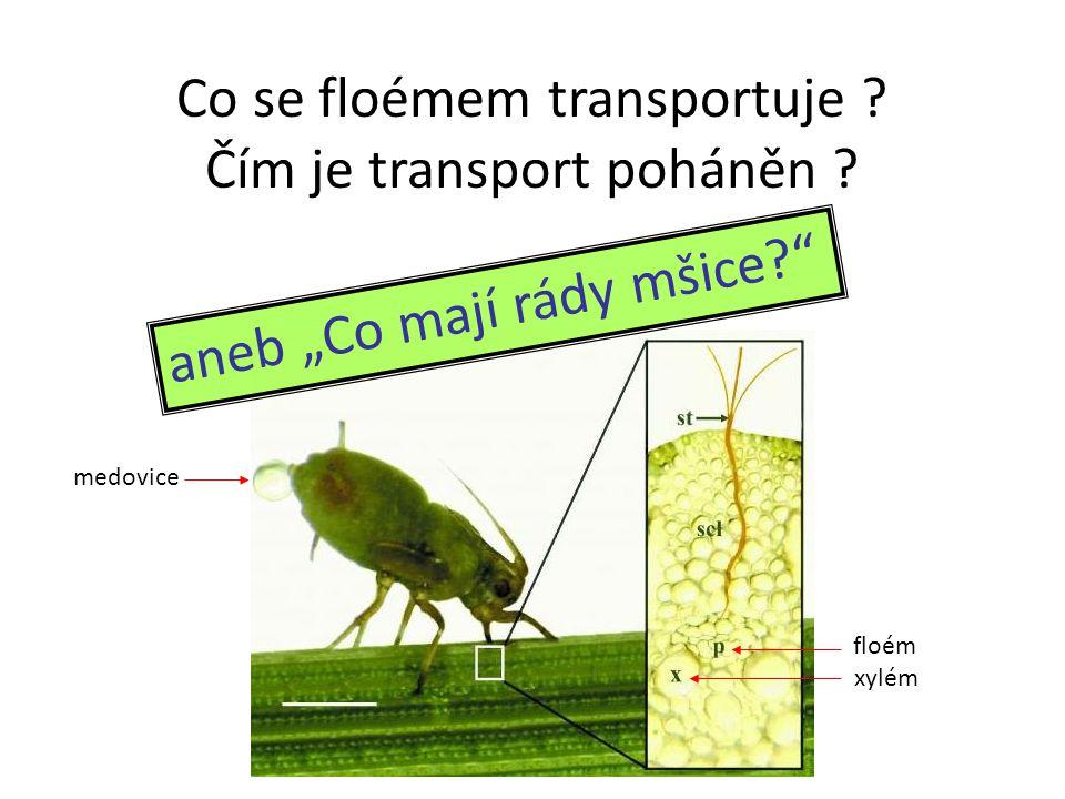 """floém xylém medovice Co se floémem transportuje ? Čím je transport poháněn ? aneb """"Co mají rády mšice?"""""""