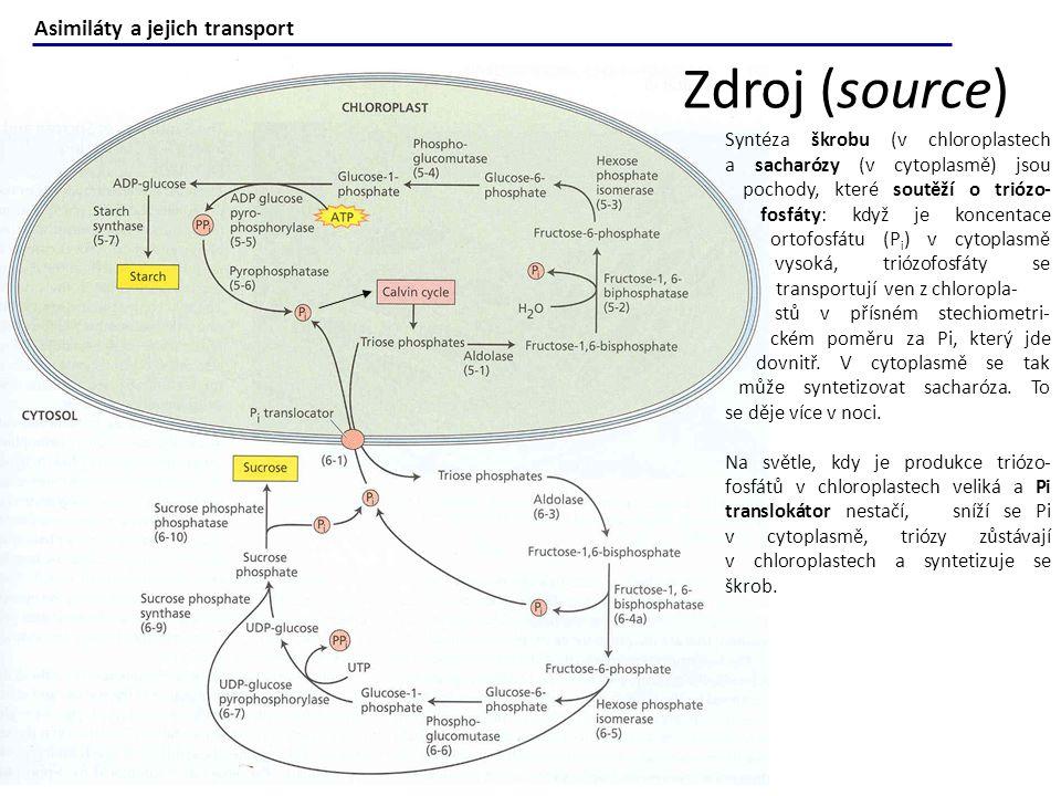 Syntéza škrobu (v chloroplastech a sacharózy (v cytoplasmě) jsou pochody, které soutěží o triózo- fosfáty: když je koncentace ortofosfátu (P i ) v cyt