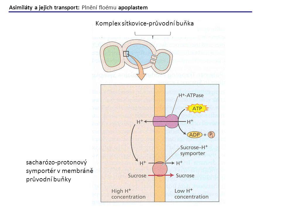 Komplex sítkovice-průvodní buňka sacharózo-protonový symportér v membráně průvodní buňky Asimiláty a jejich transport: Plnění floému apoplastem