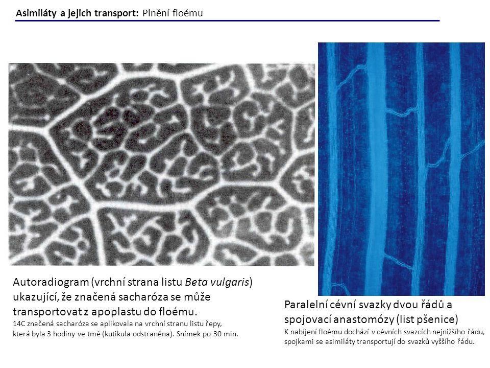 Autoradiogram (vrchní strana listu Beta vulgaris) ukazující, že značená sacharóza se může transportovat z apoplastu do floému. 14C značená sacharóza s