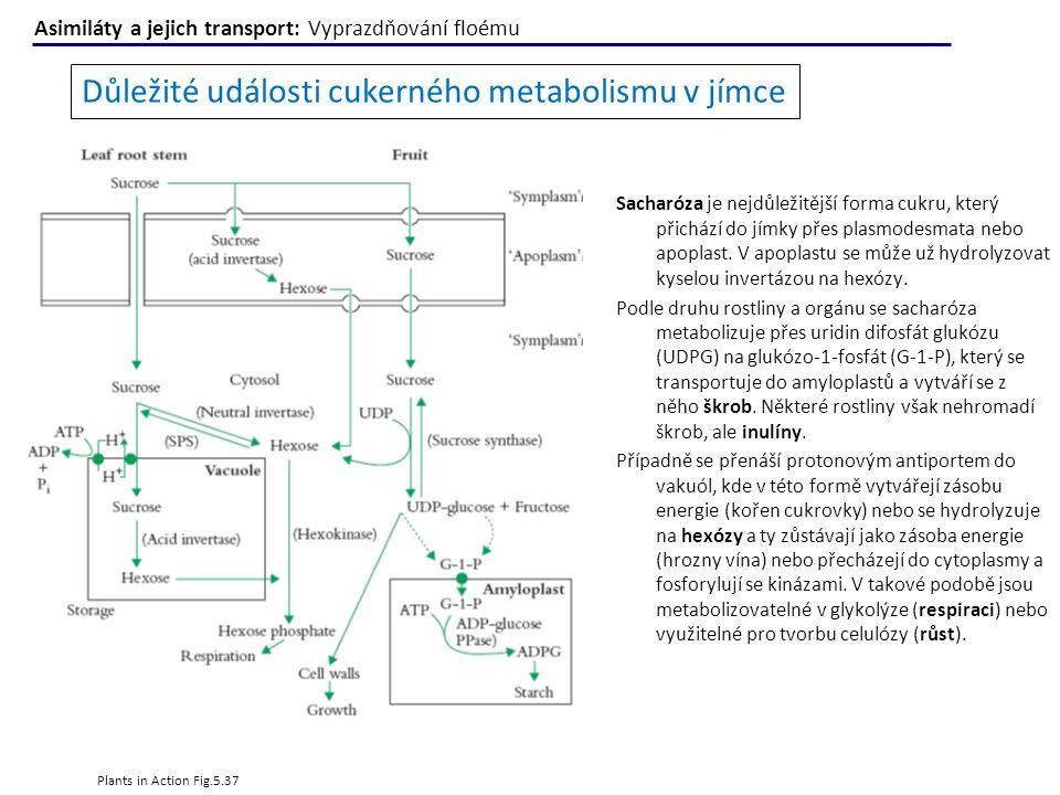 Plants in Action Fig.5.37 Důležité události cukerného metabolismu v jímce Sacharóza je nejdůležitější forma cukru, který přichází do jímky přes plasmo