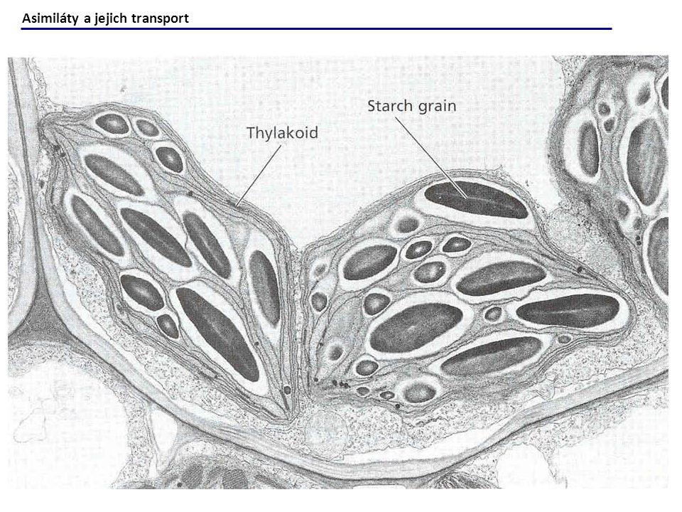Plants in Action Fig.5.37 Důležité události cukerného metabolismu v jímce Sacharóza je nejdůležitější forma cukru, který přichází do jímky přes plasmodesmata nebo apoplast.