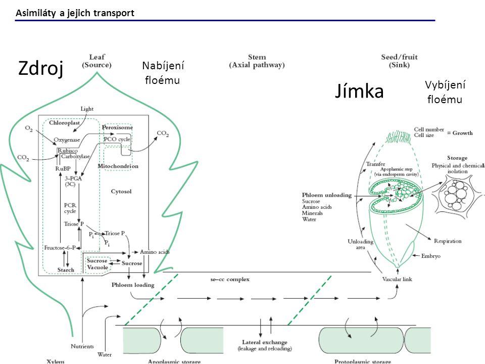 Chemické látky translokované floémem: Uhlík: Sacharóza (0,3–0,9 M) a jiné neredukující=málo reaktivní cukry (bez exponované aldehydické nebo keto skupiny).