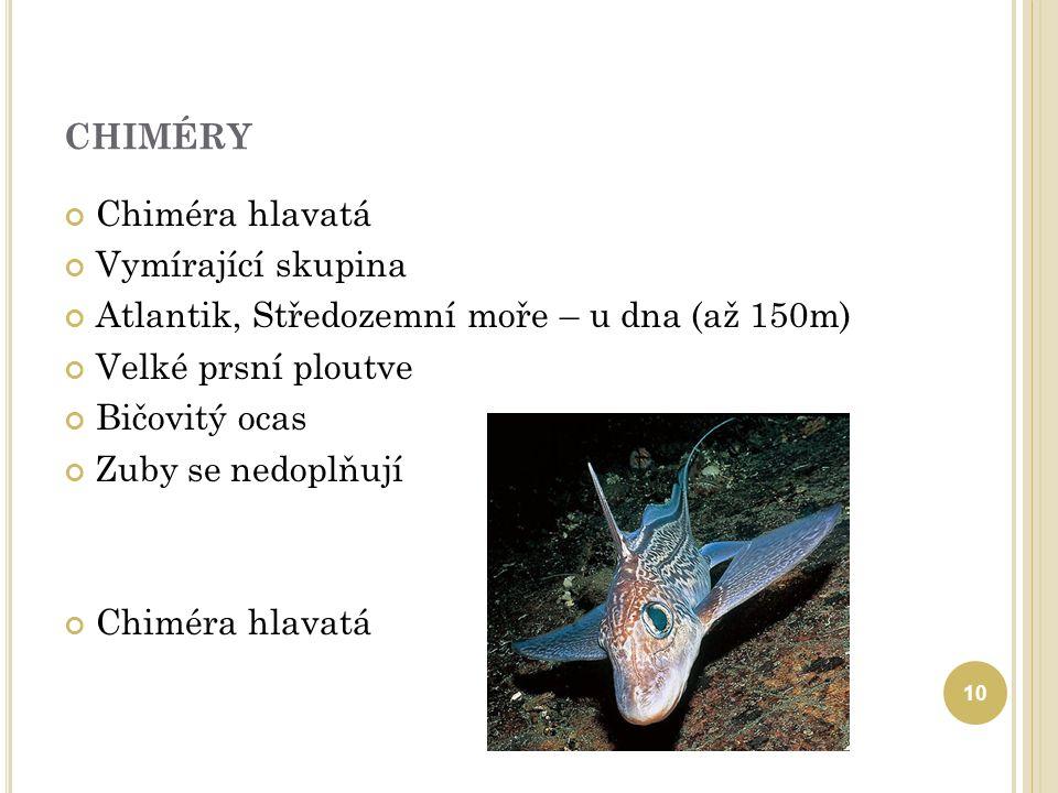 CHIMÉRY Chiméra hlavatá Vymírající skupina Atlantik, Středozemní moře – u dna (až 150m) Velké prsní ploutve Bičovitý ocas Zuby se nedoplňují Chiméra h