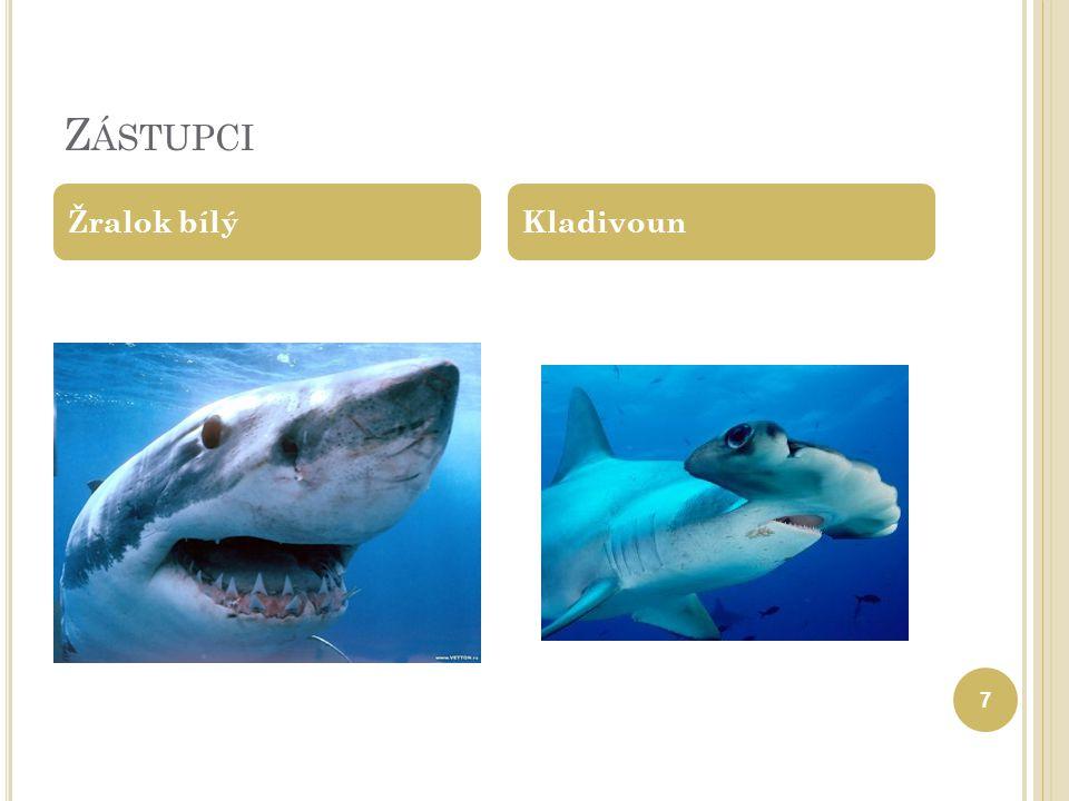 Z ÁSTUPCI Žralok bílý Kladivoun 7