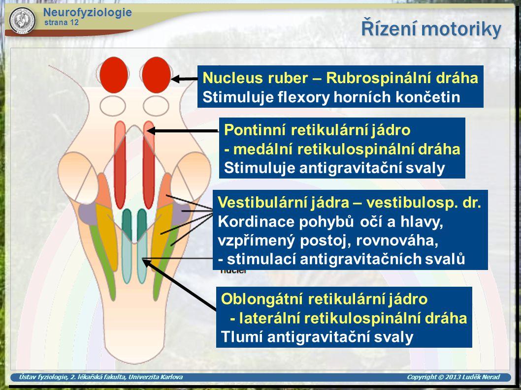 Ústav fyziologie, 2. lékařská fakulta, Univerzita Karlova Copyright © 2013 Luděk Nerad Řízení motoriky Neurofyziologie strana 12 Nucleus ruber – Rubro