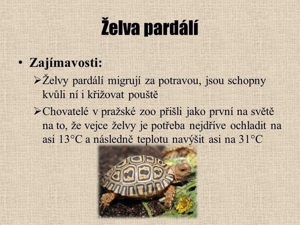 Želva pardálí Zajímavosti:  Želvy pardálí migrují za potravou, jsou schopny kvůli ní i křižovat pouště  Chovatelé v pražské zoo přišli jako první na