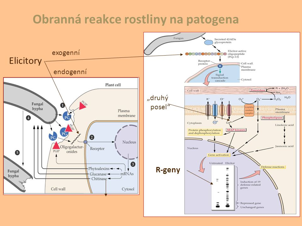 """Obranná reakce rostliny na patogena """"druhý posel"""" R-geny Elicitory exogenní endogenní"""