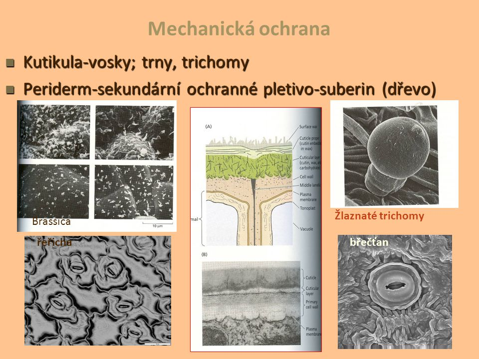 Mechanická ochrana Kutikula-vosky; trny, trichomy Kutikula-vosky; trny, trichomy Periderm-sekundární ochranné pletivo-suberin (dřevo) Periderm-sekundá
