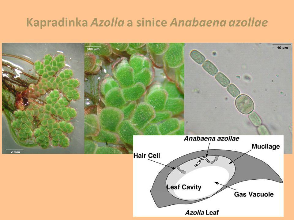 Kapradinka Azolla a sinice Anabaena azollae