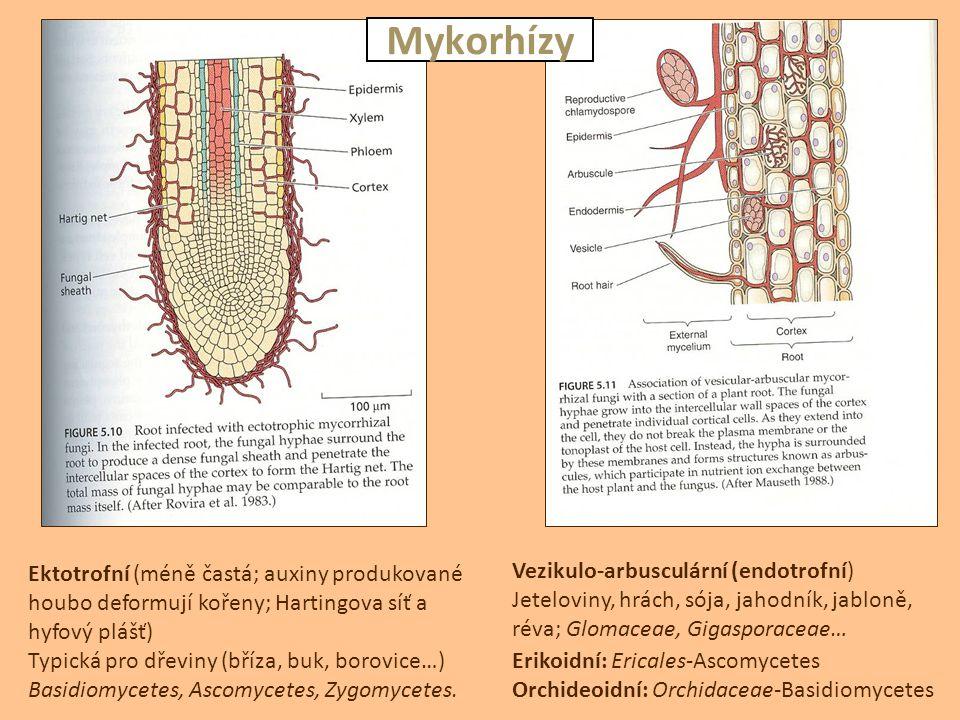 Ektotrofní (méně častá; auxiny produkované houbo deformují kořeny; Hartingova síť a hyfový plášť) Typická pro dřeviny (bříza, buk, borovice…) Basidiom
