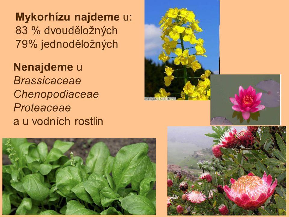 Mykorhízu najdeme u: 83 % dvouděložných 79% jednoděložných Nenajdeme u Brassicaceae Chenopodiaceae Proteaceae a u vodních rostlin