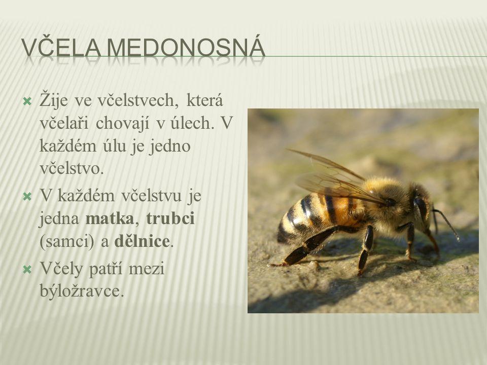  Žije ve včelstvech, která včelaři chovají v úlech. V každém úlu je jedno včelstvo.  V každém včelstvu je jedna matka, trubci (samci) a dělnice.  V