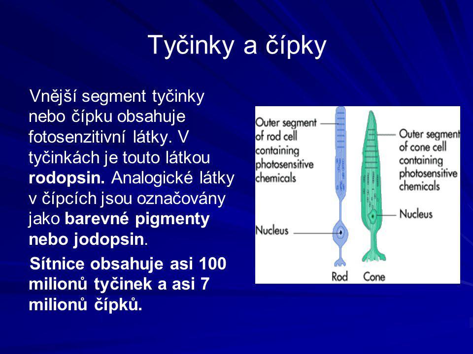 Tyčinky a čípky Vnější segment tyčinky nebo čípku obsahuje fotosenzitivní látky. V tyčinkách je touto látkou rodopsin. Analogické látky v čípcích jsou