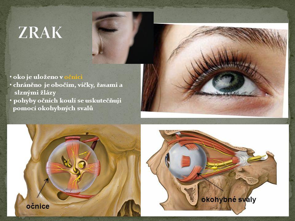 očnice okohybné svaly oko je uloženo v očnici chráněno je obočím, víčky, řasami a slznými žlázy pohyby očních koulí se uskutečňují pomocí okohybných s